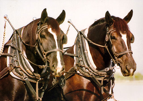 A Pair Of Percherons