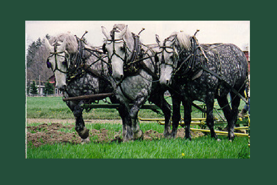 Three-team dappled gray Percherons.